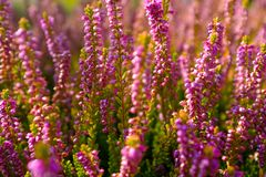Beautiful Pink Heather stock photography