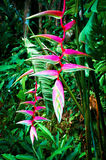 Beautiful pink heliconia flower in tropical forest Royalty Free Stock Images