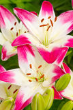 Beautiful pink hemerocallis flowers Stock Photo