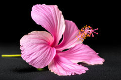 Beautiful pink hibiscus flower on black background with drops, c Stock Photography