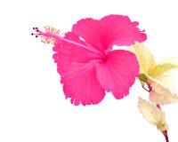 Beautiful pink Hibiscus flower Royalty Free Stock Image