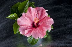 Beautiful pink hibiscus flower over black Royalty Free Stock Photography