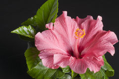 Beautiful pink hibiscus flower over black Royalty Free Stock Photo