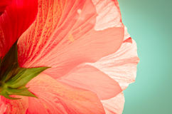Beautiful pink hibiscus flower. Beautiful pink/peach hibiscus flower against mint background Stock Photography