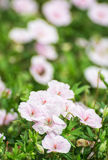 Beautiful pink hibiscus flowers, beauty in nature Royalty Free Stock Images