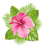 Beautiful Pink Hibiscus Flowers Blossom and Tropical Leaves Royalty Free Stock Images