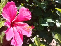 Beautiful pink hibiscus in a garden royalty free stock images