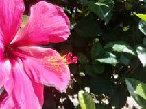Beautiful pink hibiscus in a garden stock photos
