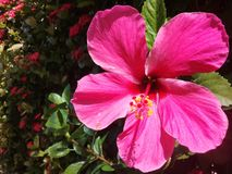 Beautiful pink hibiscus in a garden stock photo