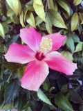 Pink hibiscus flower in the garden. royalty free stock photography