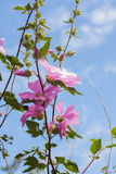 Beautiful pink Hollyhock flowers in the garden. Beautiful pink Hollyhock flowers blooming in the garden Royalty Free Stock Photos
