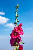 Beautiful pink hollyhock flowers over blue sky with clouds. Outd. Beautiful pink malva Alcea rosea hollyhock flowers over blue sky with clouds. Outdoor at the Stock Images