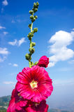 Beautiful pink hollyhock flowers over blue sky with clouds. Outd. Beautiful pink malva Alcea rosea hollyhock flowers over blue sky with clouds. Outdoor at the Royalty Free Stock Photography