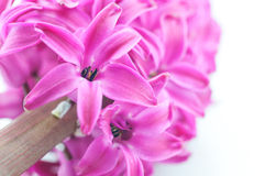 Beautiful pink hyacinth Stock Images