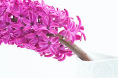 Beautiful pink hyacinth Stock Photography