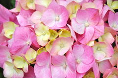 Beautiful Pink Hydrangea Stock Photo