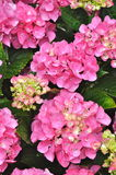 Beautiful Pink Hydrangea Bush Stock Photography