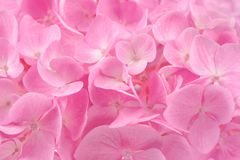 Beautiful Pink Hydrangea Flower Background Stock Photo