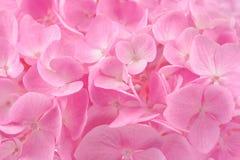 Beautiful Pink Hydrangea Flower Background Stock Photo