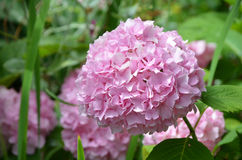 Beautiful Pink Hydrangea Flower Bush in Bloom Royalty Free Stock Images