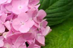 Beautiful Pink Hydrangea Flowers Royalty Free Stock Image