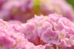 Beautiful Pink Hydrangea Flowers Closeup Stock Photos