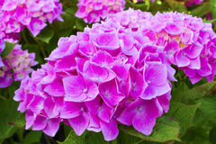 Beautiful pink hydrangea in full bloom Stock Photo
