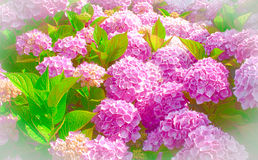 Beautiful pink hydrangea in full bloom Royalty Free Stock Photo