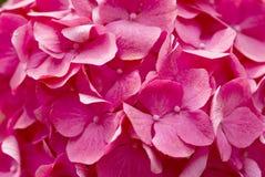 Beautiful  pink hydrangeas Stock Photography
