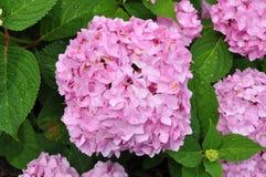 Beautiful Pink Hydrangeas. Top view of beautiful pink hydrangeas in the garden Royalty Free Stock Image