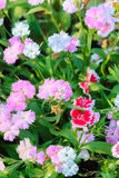 Beautiful Pink, Indian pink, China pink, or Rainbow pink Flowers Stock Photo