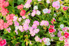 Beautiful Pink, Indian pink, China pink, or Rainbow pink Flowers Stock Image