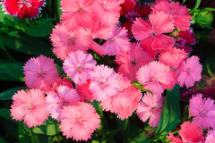 Beautiful Pink, Indian pink, China pink, or Rainbow pink Flowers Royalty Free Stock Images