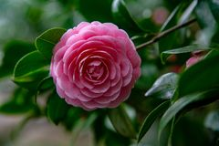 Camelia or Japanese rose stock photos