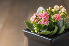 Beautiful pink Kalanchoe flower in small pot. Beautiful pink Kalanchoe or Flaming Katy flower in small pot and old wood background Stock Photos