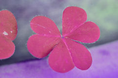 Beautiful pink leaves of Water clover Stock Image