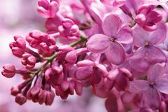 Beautiful pink lilac flowers and buds close-up horizontal. Macro Stock Images