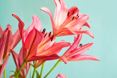 Beautiful Pink lilies background Stock Images