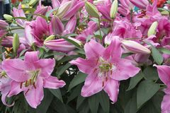Beautiful pink lilies in the garden Royalty Free Stock Photo