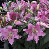 Beautiful pink lilies in the garden Royalty Free Stock Photos