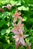 Beautiful pink lilies in the garden Royalty Free Stock Images