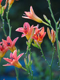 Beautiful pink lilies in the garden Royalty Free Stock Image