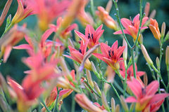 Beautiful pink lilies in the garden Stock Photos
