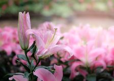 Pink lilies in the garden. Beautiful pink lilies in the garden Royalty Free Stock Photography