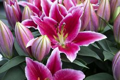 Beautiful pink lilies in the park stock photos