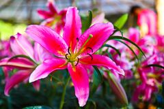 Beautiful Pink lilly Stock Photos