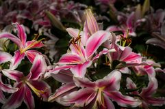 Beautiful pink lily are blooming in the garden Stock Photos