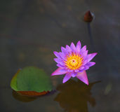 Beautiful pink lily. Close up of beautiful pink water lily in the pond Royalty Free Stock Photos