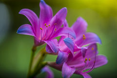 Beautiful Pink Lily Flower Stock Images