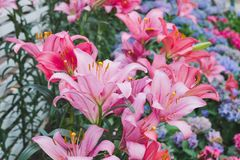 Beautiful pink lily flower in botanic garden. Floral decoration Stock Photo